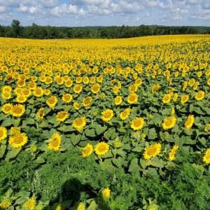 davis-sunflowers-42