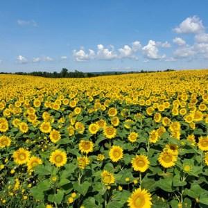 davis-sunflowers-44