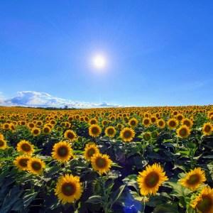 Toronto Sunflower Fields