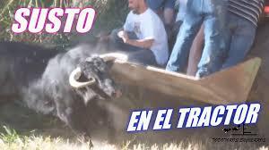 Gran susto con toro en tractor