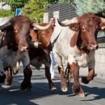 Encierros Fiestas de Hoyo de Manzanares 4