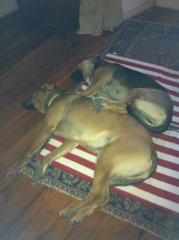 Perdido, perro cruce c/mastín, de 9 meses, color canela en la colonia de Torrelodones