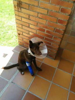 """Perros sueltos de una finca """"okupada"""" en Torrelodones atacaron a Coco"""