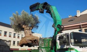 trasplante-olivo-plaza-torrelodones2