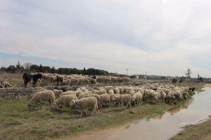 paso-ovejas-via-pecuaria-2-17-c