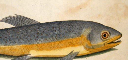 willughby-ray-1740-folio-hand-col-fish-print-salmarinus-salmon-2-74336-p-e1473927319583