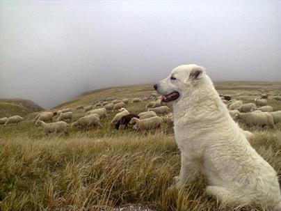 cane da guardiania