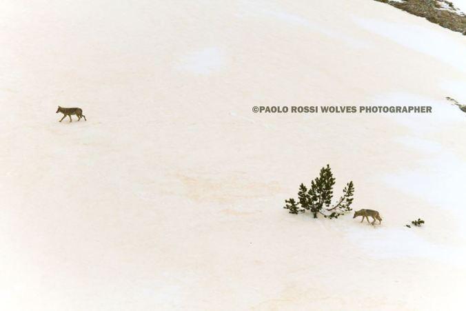 foto di lupi di Paolo Rossi
