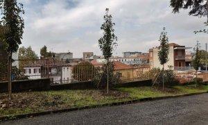 Nuovi alberi al Liceo Peano, sono peri selvatici