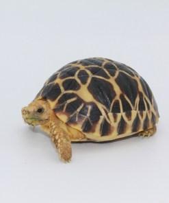 Tortoise Hatchlings