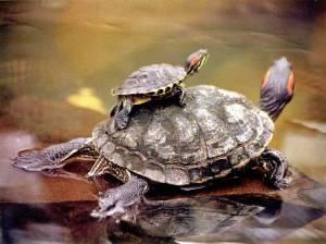 tortugas macho y hembra