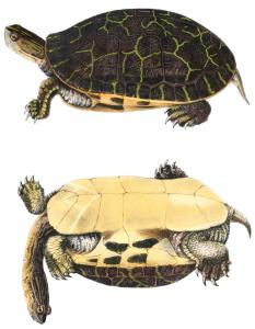 deirohelys reticularia
