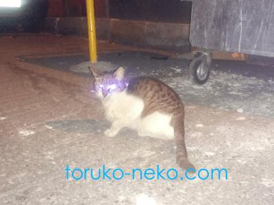cat トルコ イスタンブール 猫歩き フラッシュをたいて夜にネコを撮った写真 画像