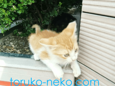 cat トルコ イスタンブール 猫歩き 繁殖期にうまれたかわいいクリーム色の子猫の写真 画像