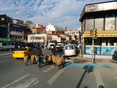 sheep トルコ 猫歩き 羊と羊飼いの写真 画像