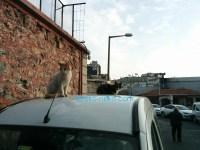 トルコ猫歩き イスタンブールで二匹の可愛い猫が車の上にいる写真 画像