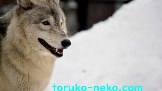 Wolf 狼 トルコ猫 FX EA 自動売買システム ウルフシステム