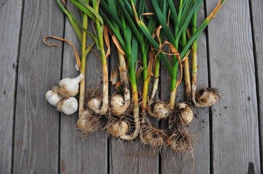 Garlic bounty