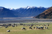 The quintessential New Zealand scene - sheep and mountains