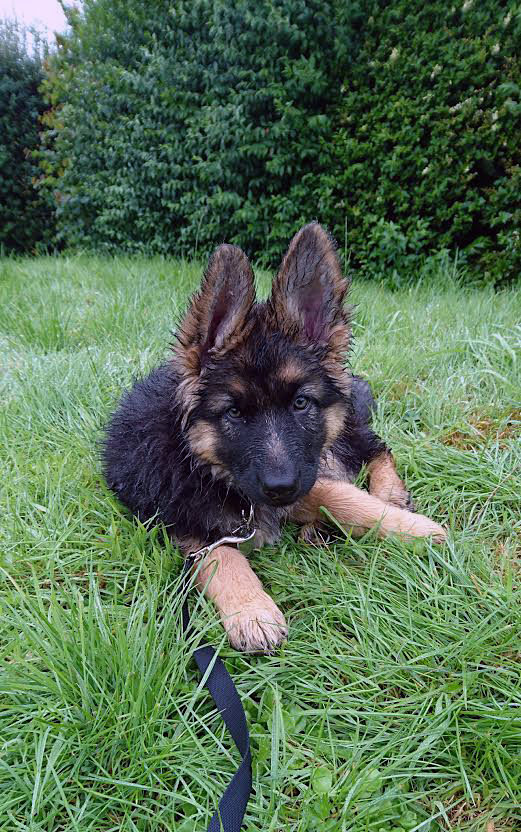 Poppy, our new German Shepherd puppy. She's been with us for 3 days and is 10 weeks old.