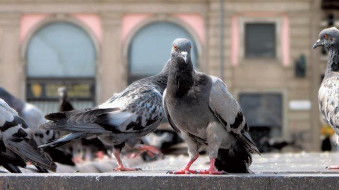 Pest Birds Pigeons