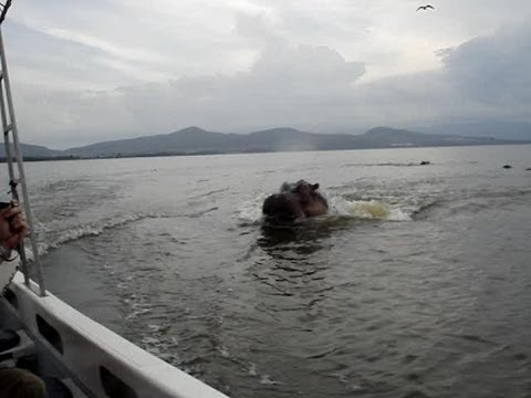 VIDEO: Hippo chasing boat! Scary! (ORIGINAL VIDEO)