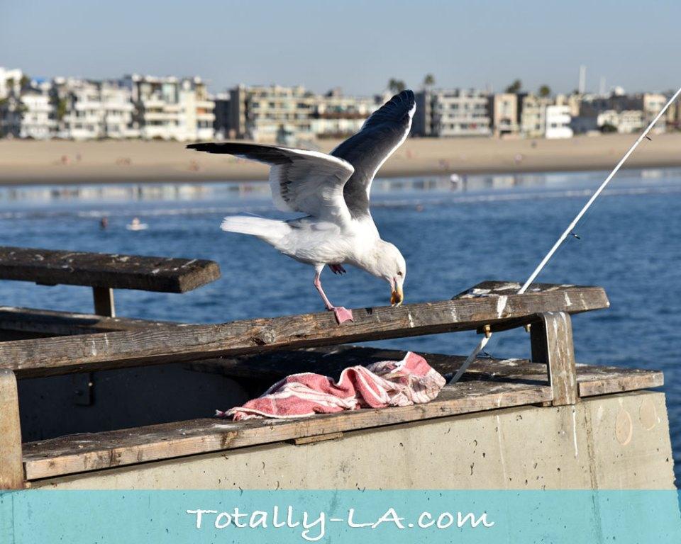 Seagulls in Venice Beach