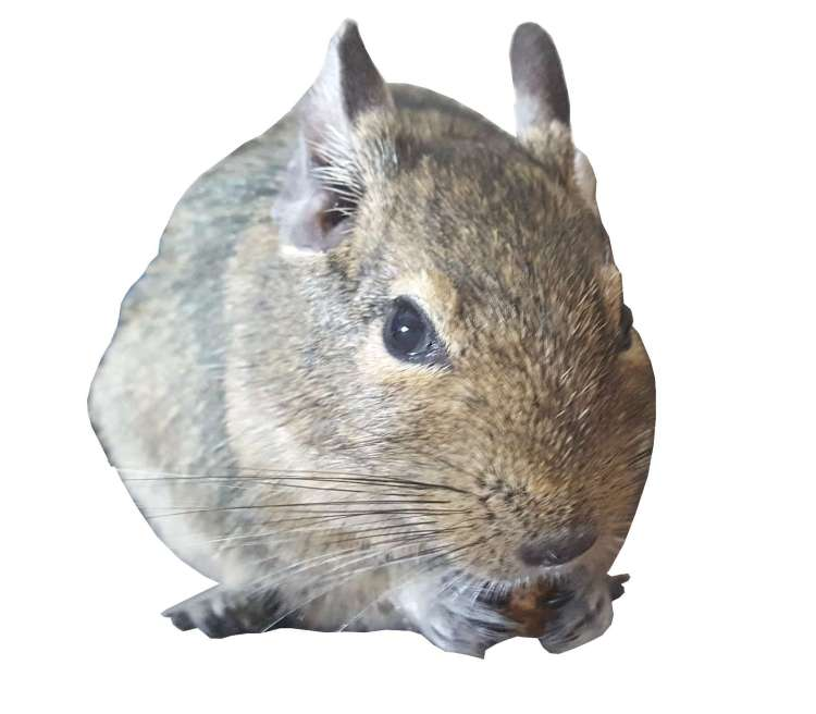 meet our degus