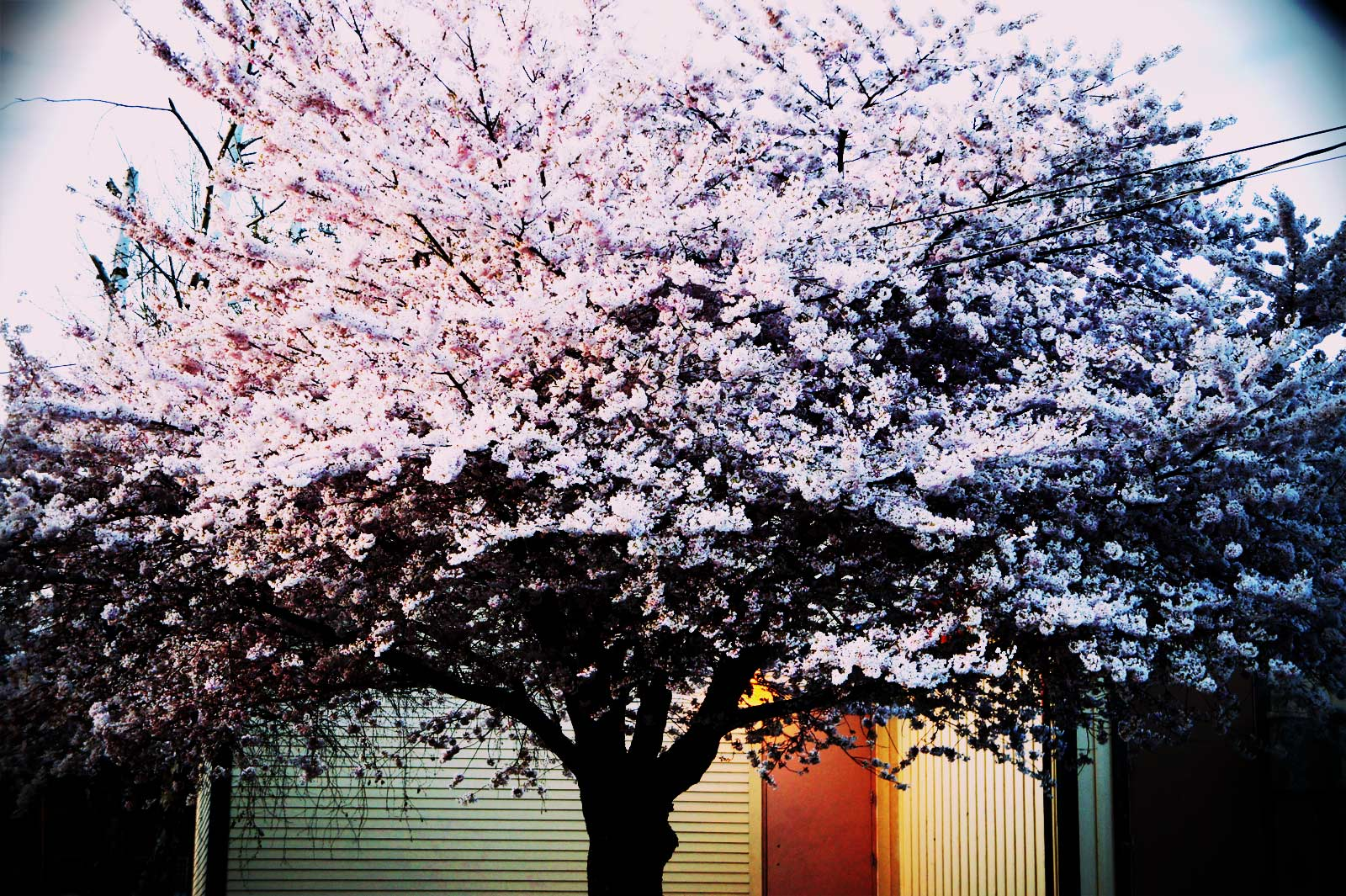 Cherry Tree at Dusk