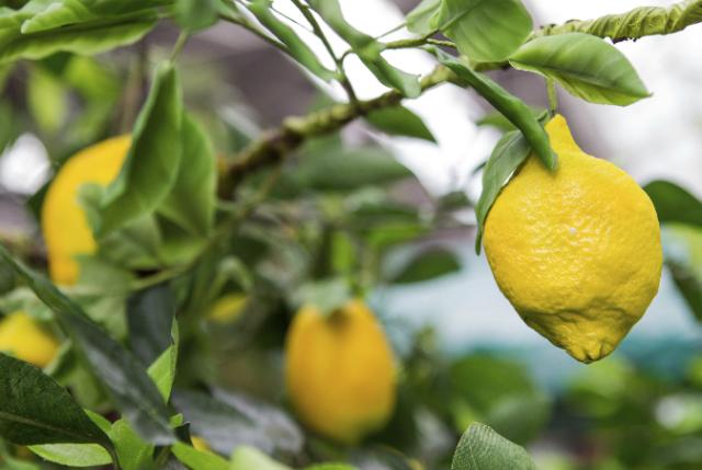 Totally Sugar - Green & Black Edible Fruit - Lemons 1