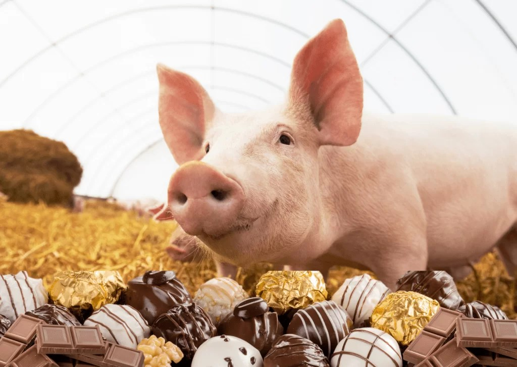 this little piggy ate ALL the chocolate