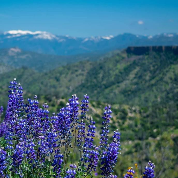 White tipped Sky Lupine mimics snow capped peaks beyond!
