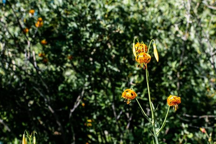 Tiger Lilies hang like bespeckled lanterns.