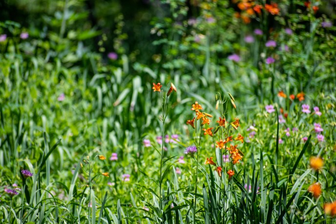 Tiger Lily and wild onion.
