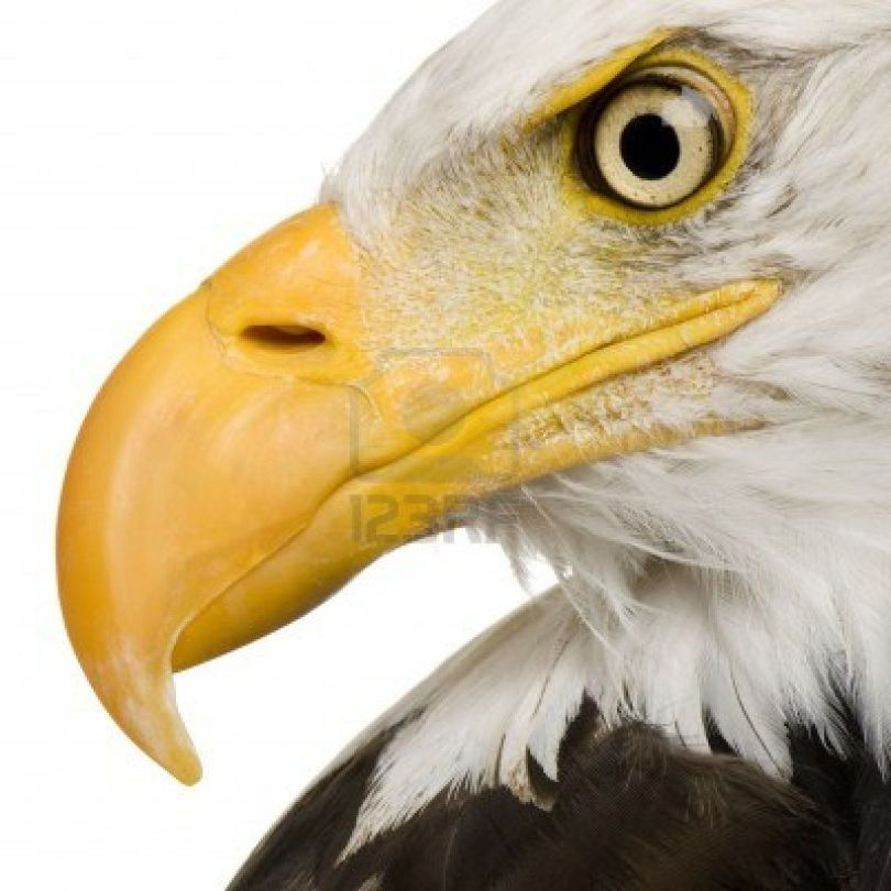 águila animal de poder