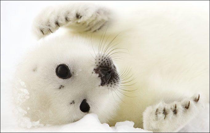 foca tótem símbología animal