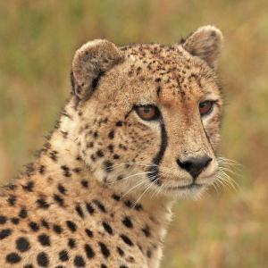 guepardo totem animal significado