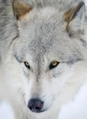 lobo tótem significado