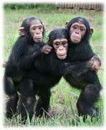 chimpancés en peligro