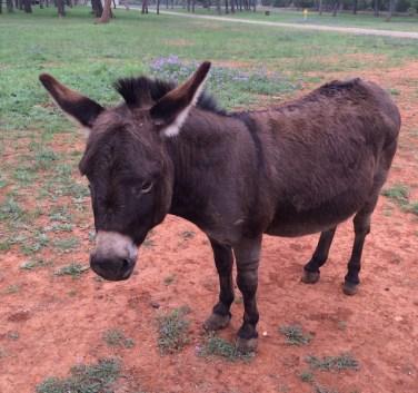 Cute Donkey Johnson City Texas