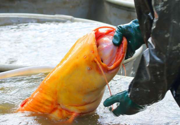 Monstrous Catfish Invading Europe