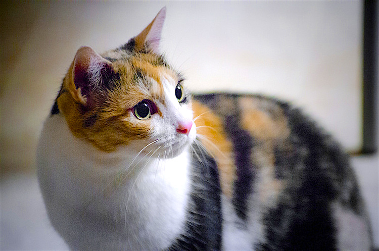 calico cat fun facts