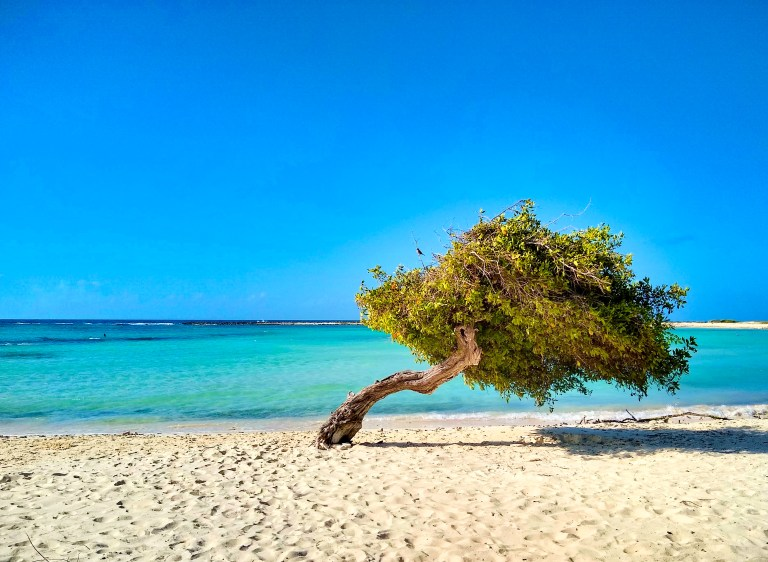 Famous Aruba Divi tree, pointing southwest with the winds in Baby Beach, for Ellen Blazer's travel blog To Travel and Bloom