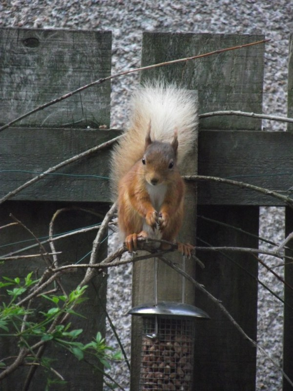Meet Tufty the red squirrel