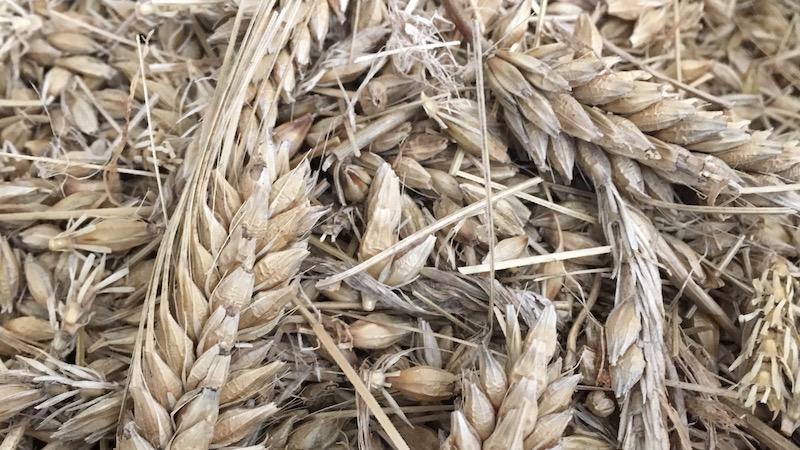 脱穀前にざっくりと手でほぐした大麦