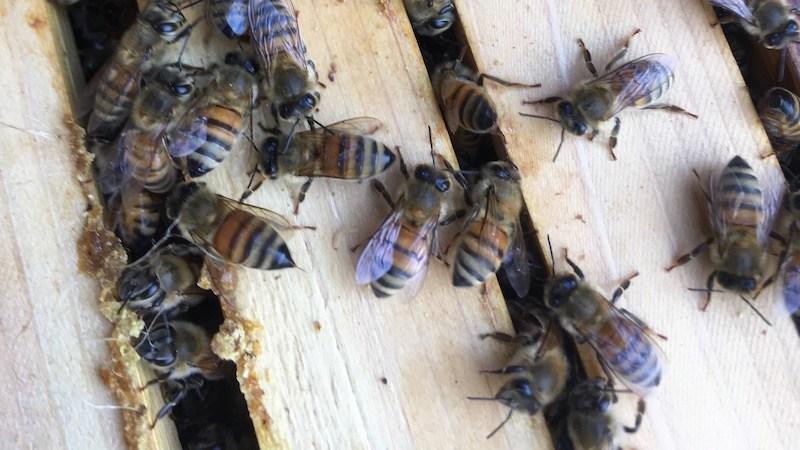 ミツバチの近くで食べてはいけないもの