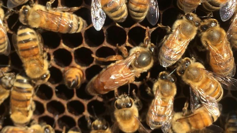 ちょっと悲しいミツバチの世界 女王蜂の寿命とは?