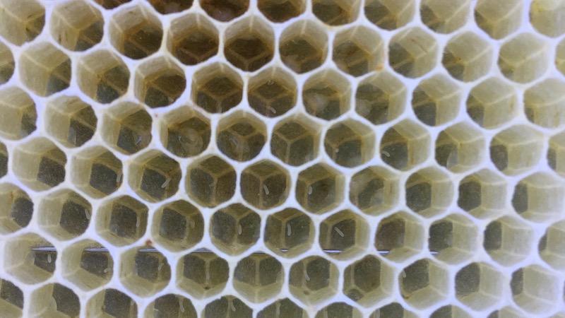 ミツバチの卵