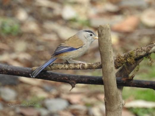 Blue-winged Siva