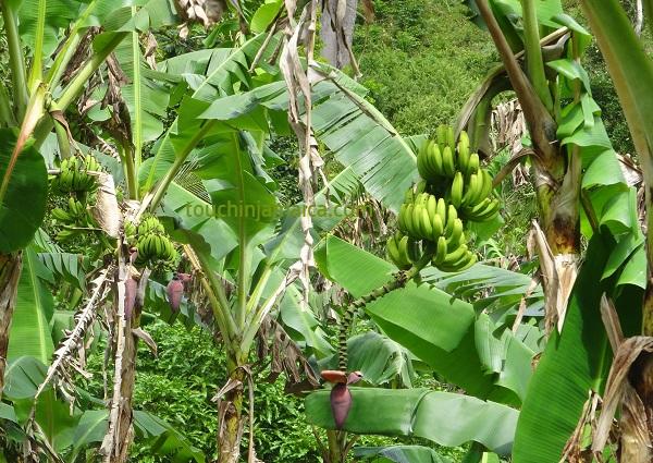 Honigbananenplantage Jamaika